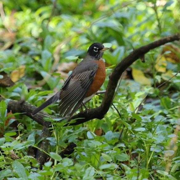 american-robin-