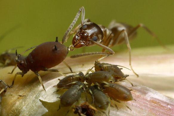 ants_aphids_sugar-by-charles-chien