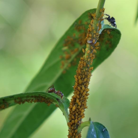 aphids-on-swamp-milkweed-
