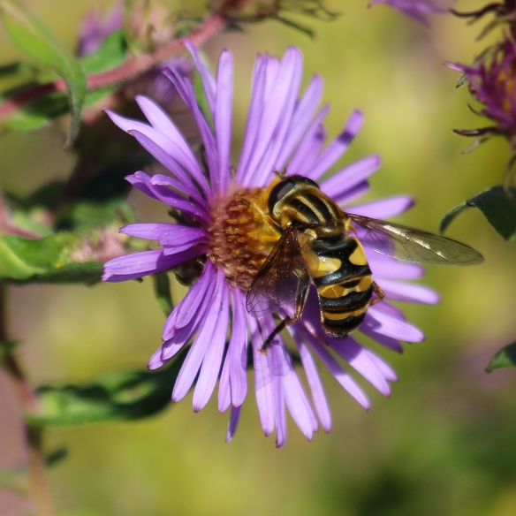 Hoverfly-on-new-england-aster-