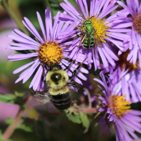 bees-on-new-england-aster