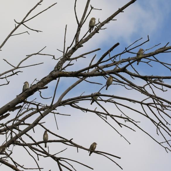 cedar-waxwing-juveniles