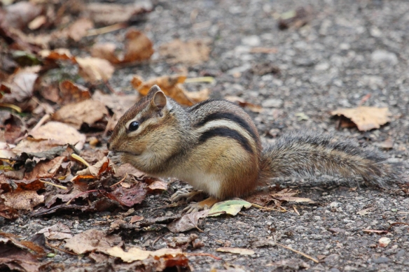 eastern-chipmunk-