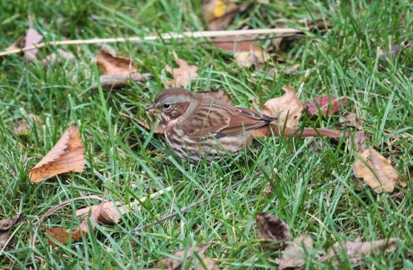 fox-sparrow-