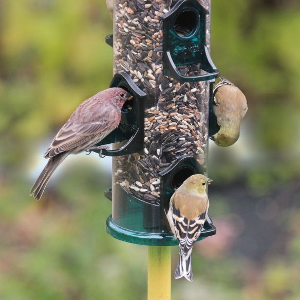 house-finch-and-goldfinch