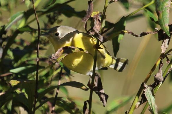 nashville-warbler-