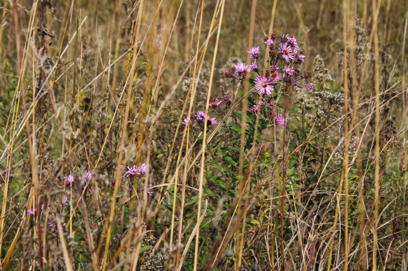 new-england-aster-