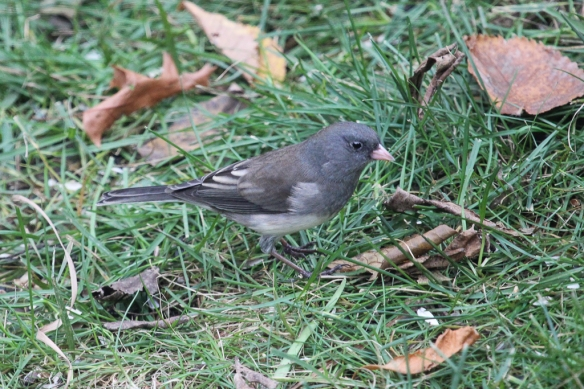 slate-colored-junco-