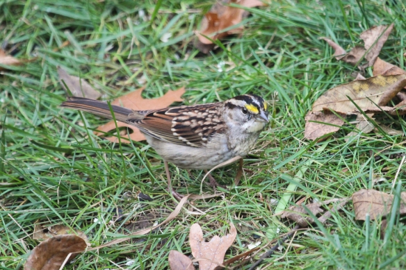 white-throated-sparrow-