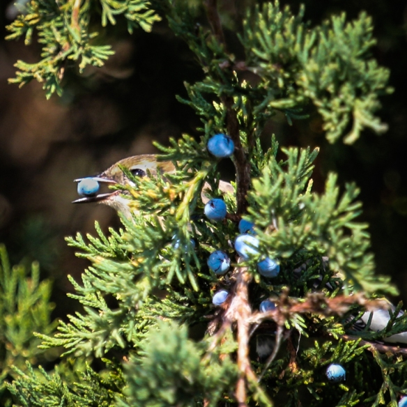 yellow-rumped-warbler-eating-cedar-berries