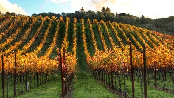 Vineyards, Sonoma, CA