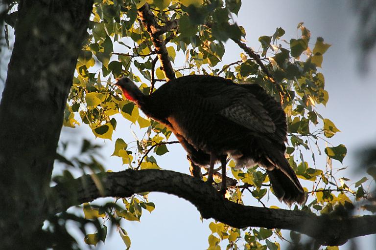 hen-turkey-on-its-roost