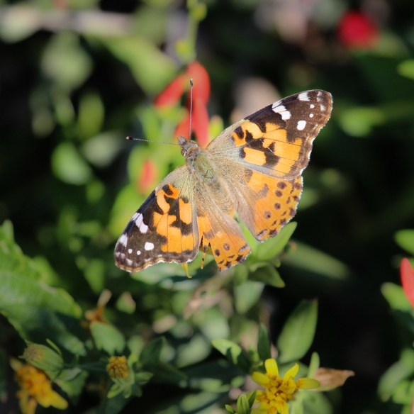 painted-lady-butterfly-