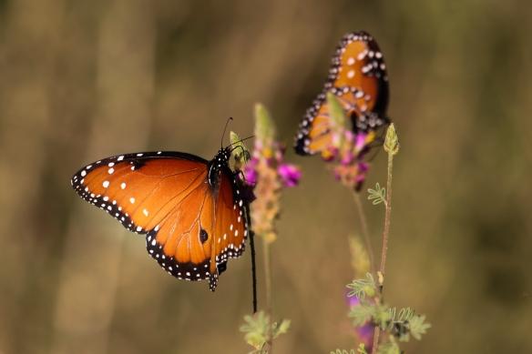 queen-butterfly-