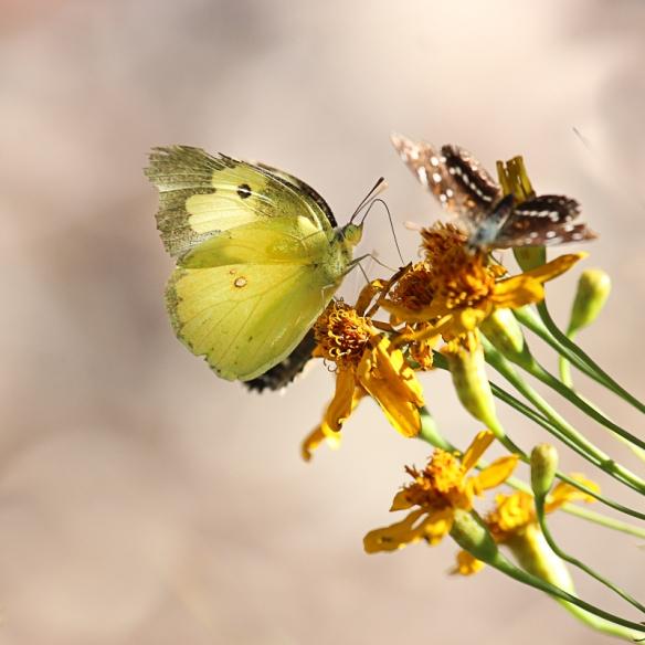 southern-dogface-butterfly