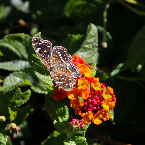 texan-crescentspot-butterfly-