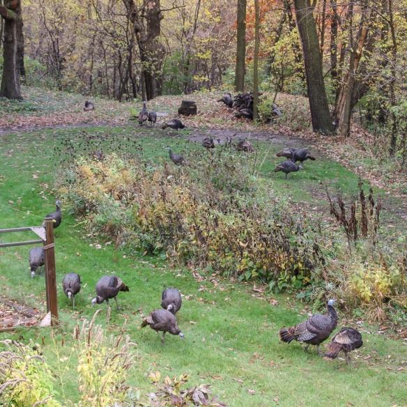 turkey flock