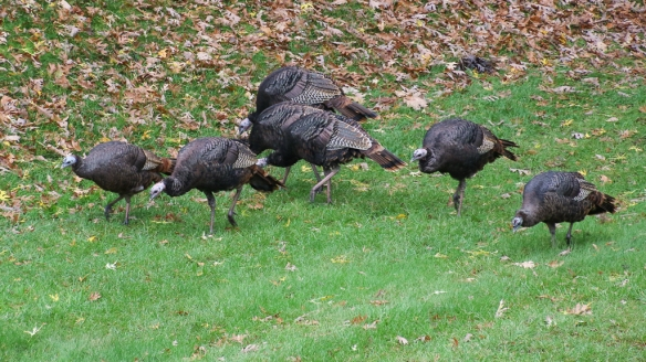turkey-flock-