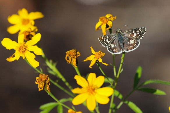 white-checkered-skipper-butterfly