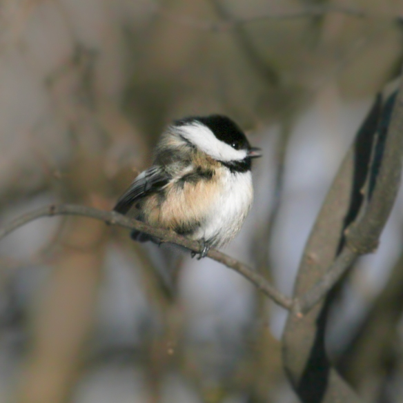 chickadee on a cold day