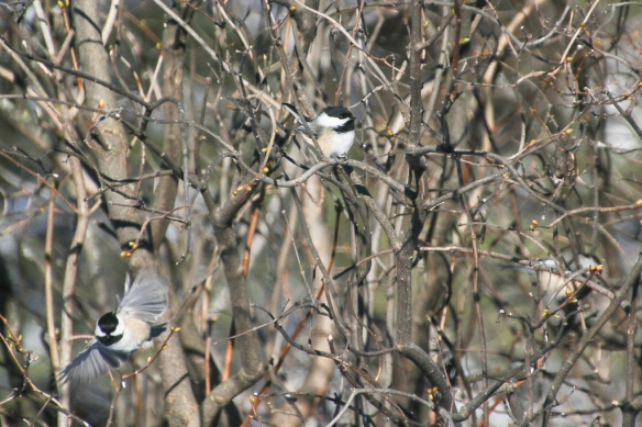chickadee-family-