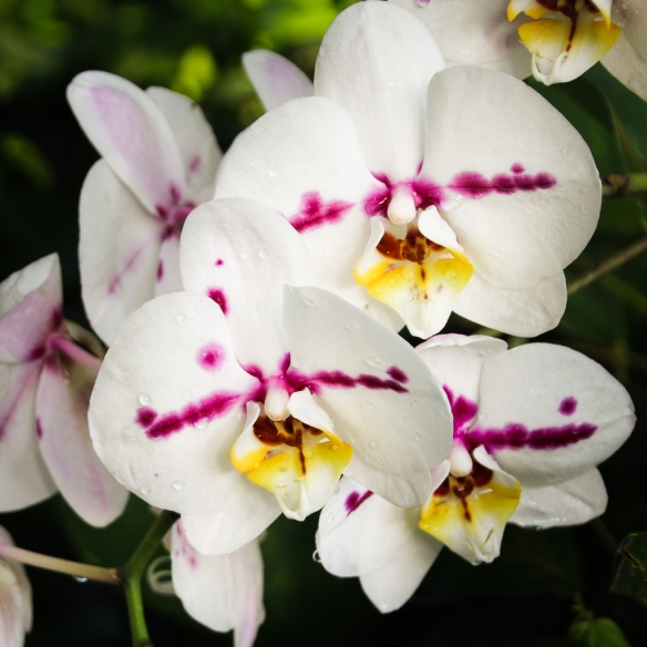 como-conservatory-orchid