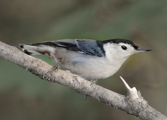 white-breasted-nuthatch-eastern form