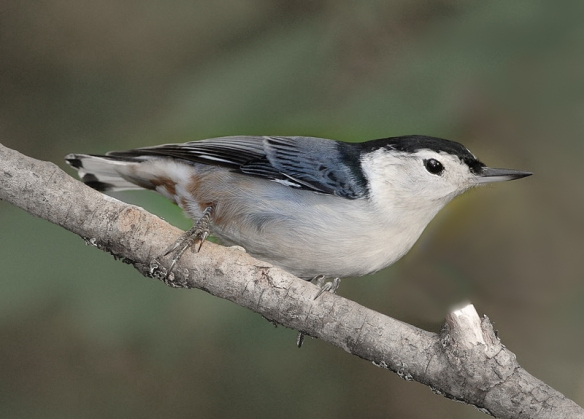 white-breasted-nuthatch-carolina