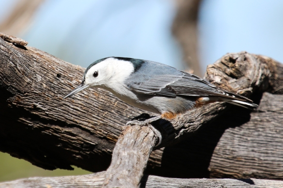 white-breasted-nuthatch-western form
