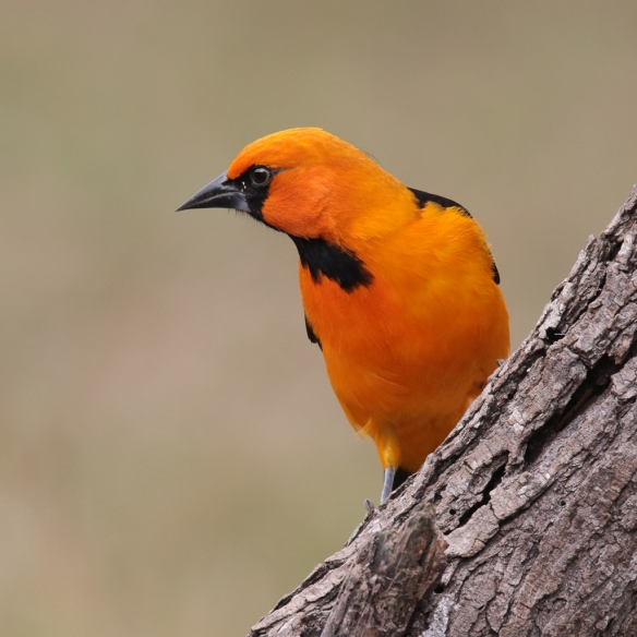 altimira-oriole-male-