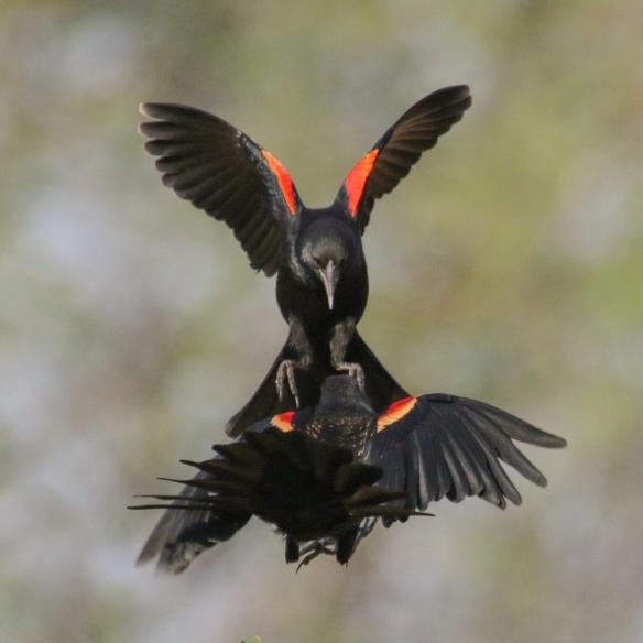 blackbird-confrontations
