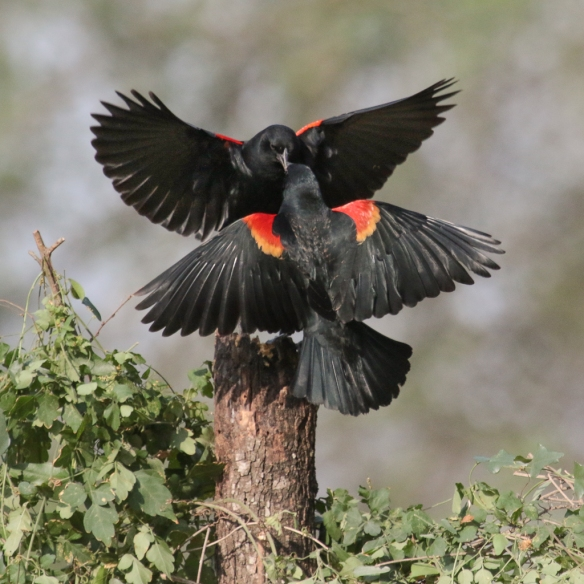 red-winged blackbird-confrontations-