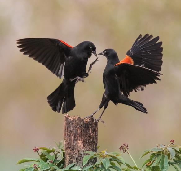 blackbird-confrontations-