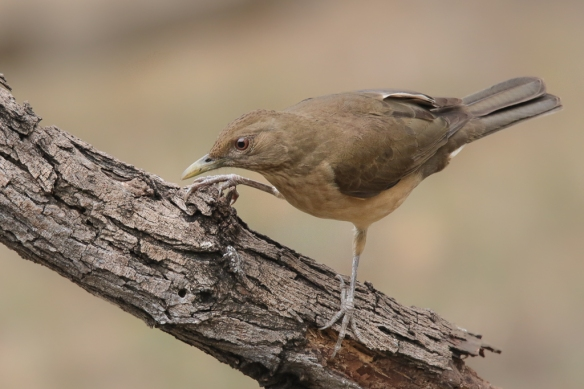 clay-colored-(robin)-thrush-