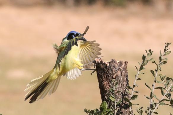 green-jay-landing-