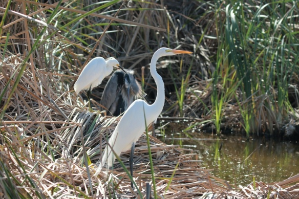 South padre island herons