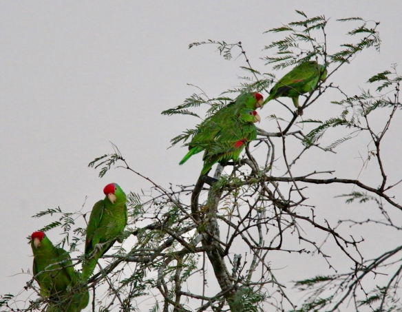 Parrots in Brownsville, Texas
