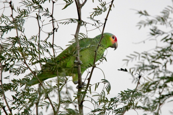 Red-lored parrot, Brownsville, Texas