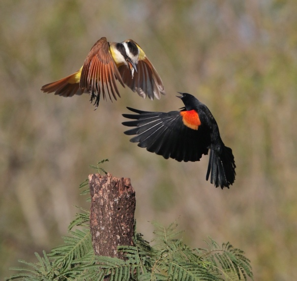 Great Kiskadee vs Red-winged Blackbird