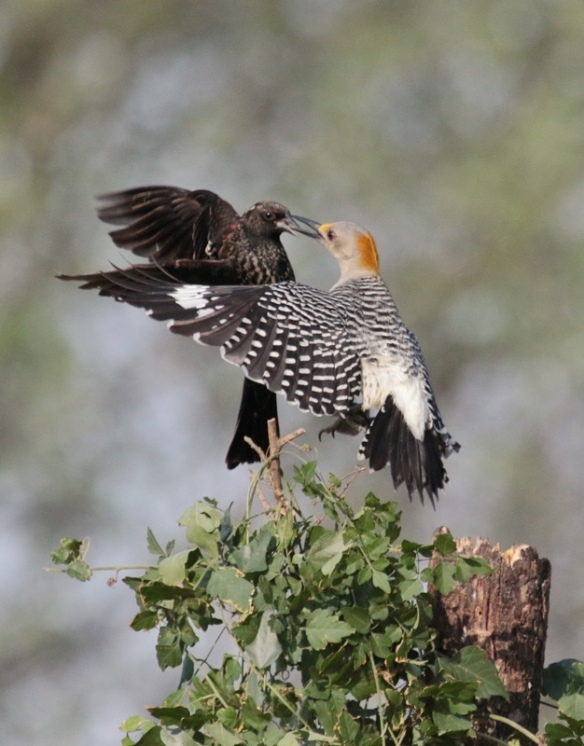 Golden -fronted Woodpecker vs Red-winged blackbird