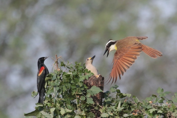 Golden -fronted Woodpecker vs Great Kiskadee