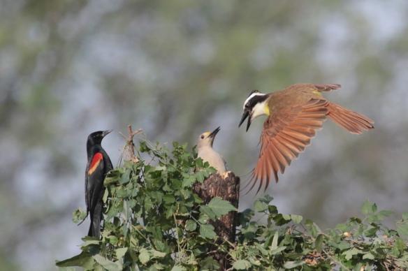 Golden -fronted Woodpecker vs Great Kiskadee