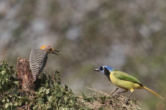 Golden -fronted Woodpecker vs Green Jay