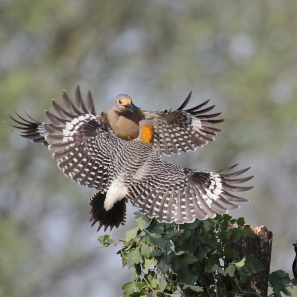 Golden -fronted Woodpeckers