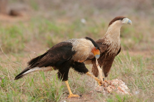 Adult and juvenile Caracara