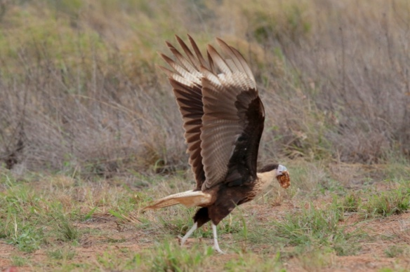 Juvenile Caracara flying off with a meal