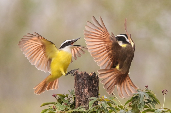 great kiskadee-confrontations-