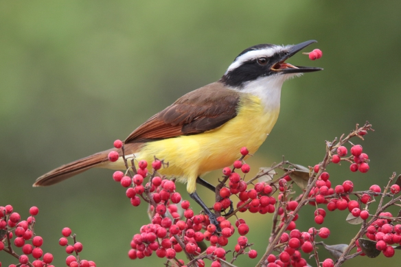 great kiskadee-eating-berries