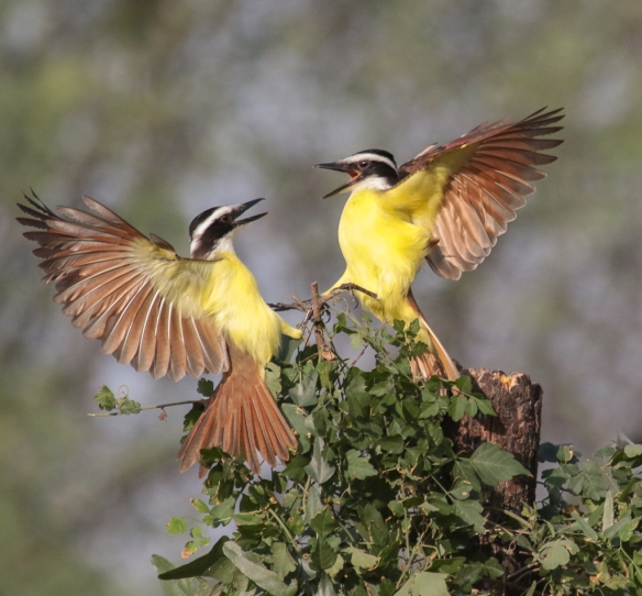 kiskadee-face-off-