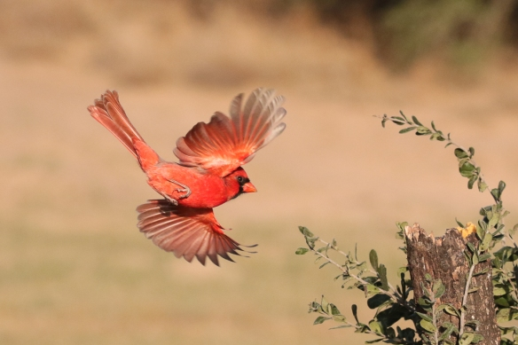male-cardinal-flying-